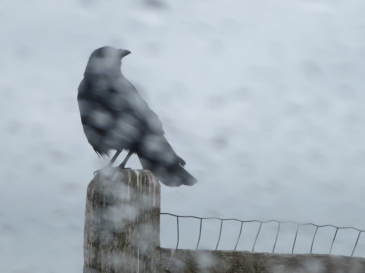 Optimized-crow_in_rain_spit_2016_IMG_2111